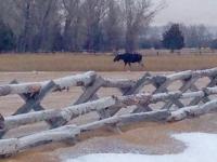 Moose[1]