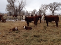 Neighbor-cows[1]