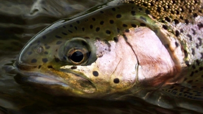 Rainbow Trout | Madison River Fly Fishing in Montana