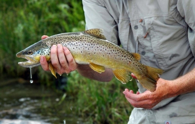 Brown Trout on the Beaverhead River in Montana