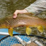 Nice Smith River Brown Trout