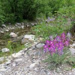 Wild flowers on creek near the Smith River Montana